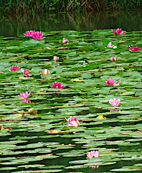 池に浮かぶ蓮