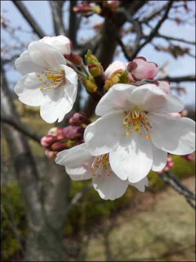 桜の花びらアップ